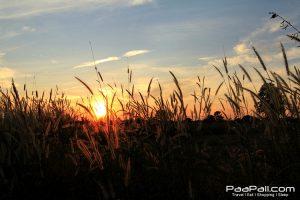 ทุ่งนา ท้องฟ้า ดอกหญ้า ที่ อ.ชุมแพ ขอนแก่น
