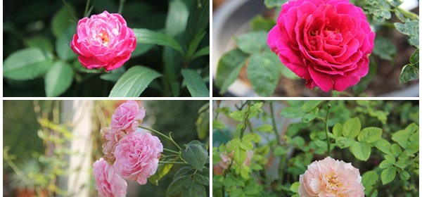 main_rose