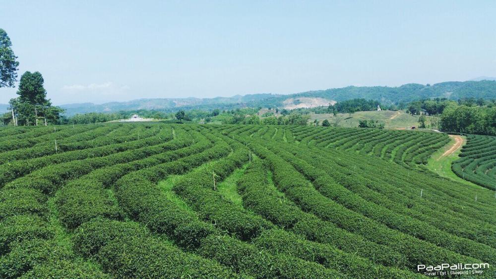 Choui Fong Tea (1)