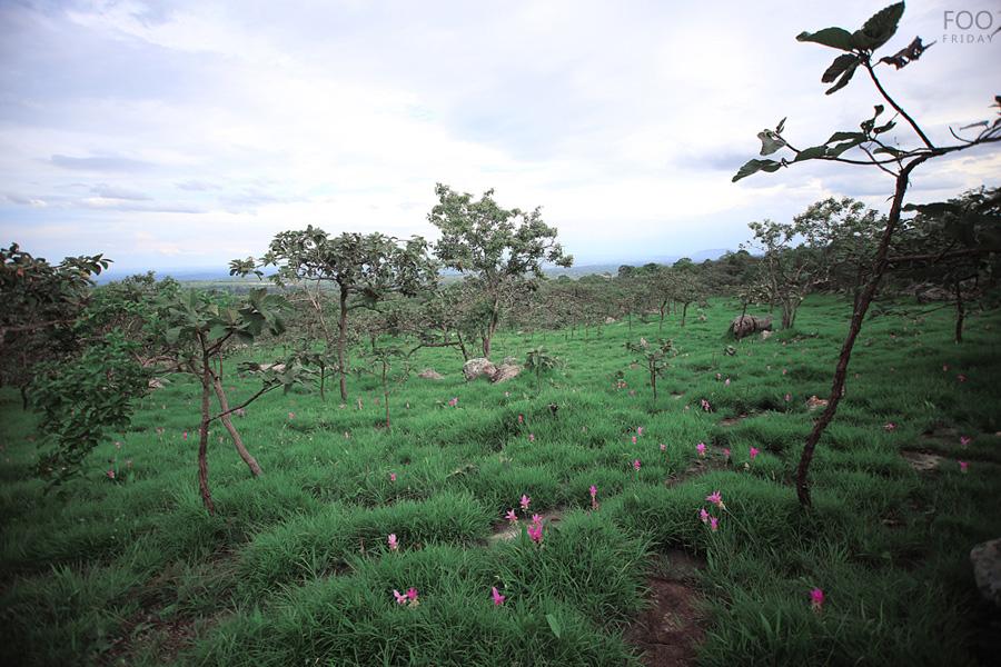 krajiaoflowerfieldpahinngam (11)