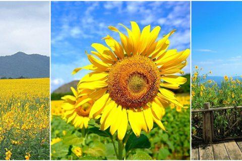 3 เส้นทางชมดอกไม้บานให้คุณได้ สตรอง!! กลางไร่สีเหลือง