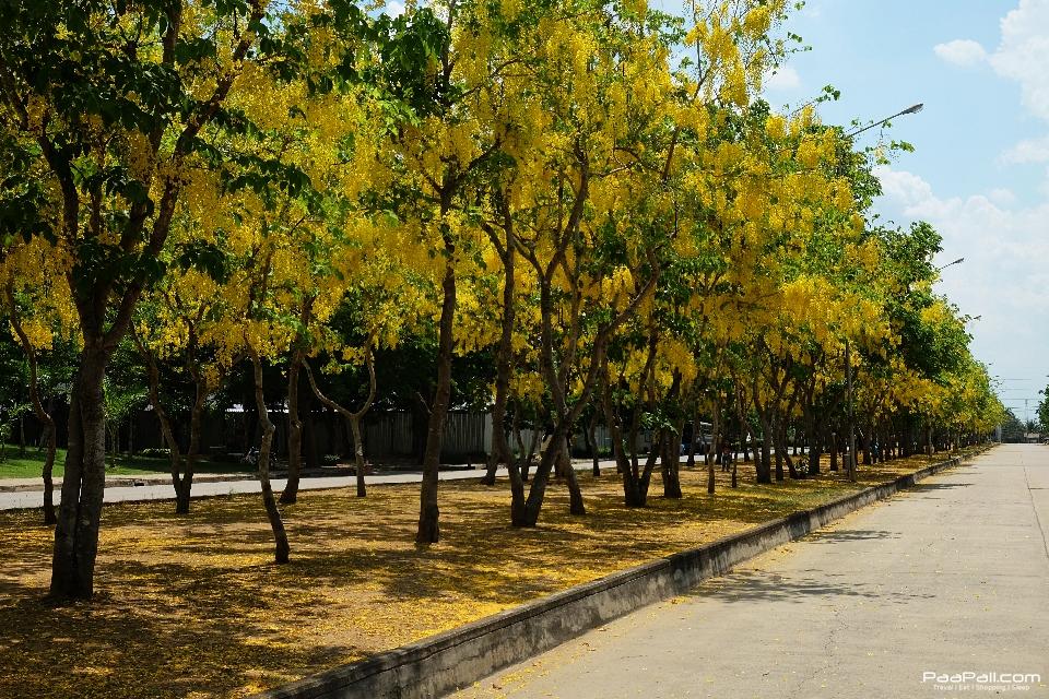 Golden shower tree (10)