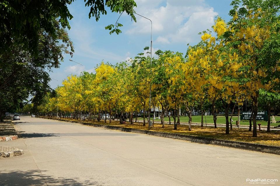 Golden shower tree (11)