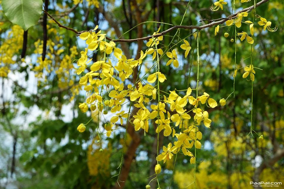 Golden shower tree (15)