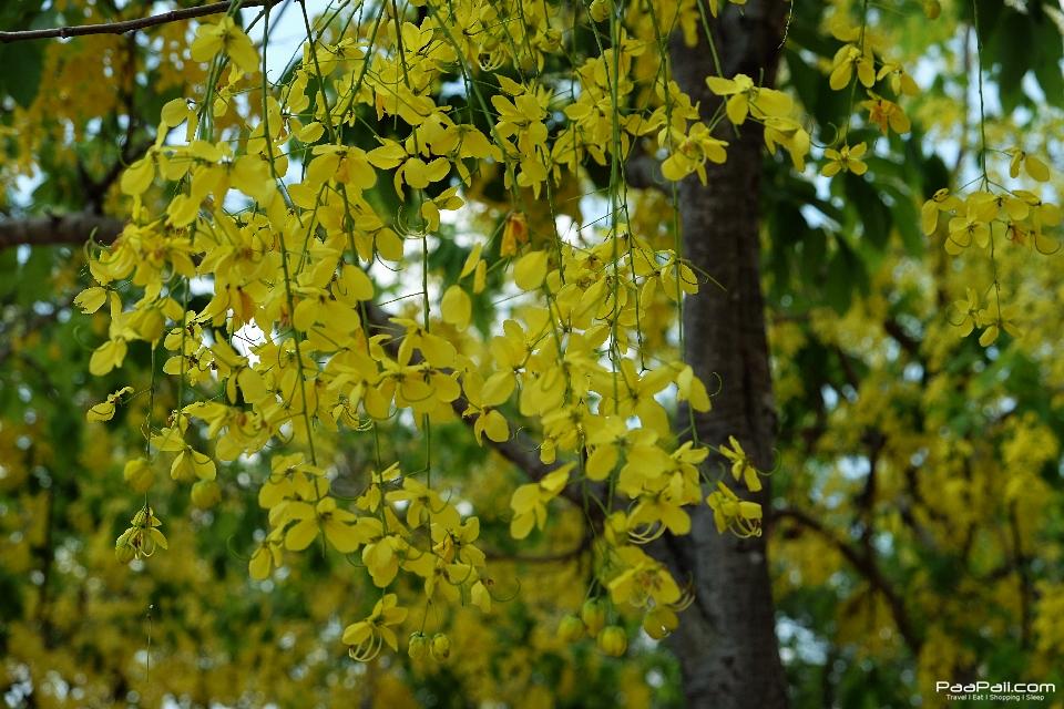Golden shower tree (17)