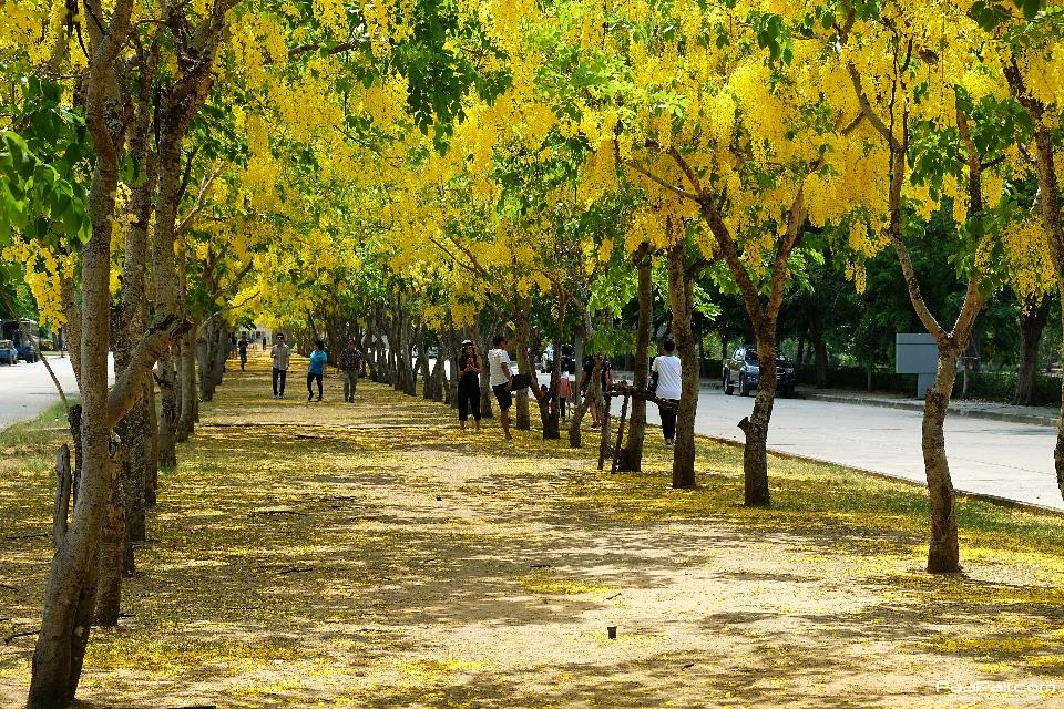 Golden shower tree (19)