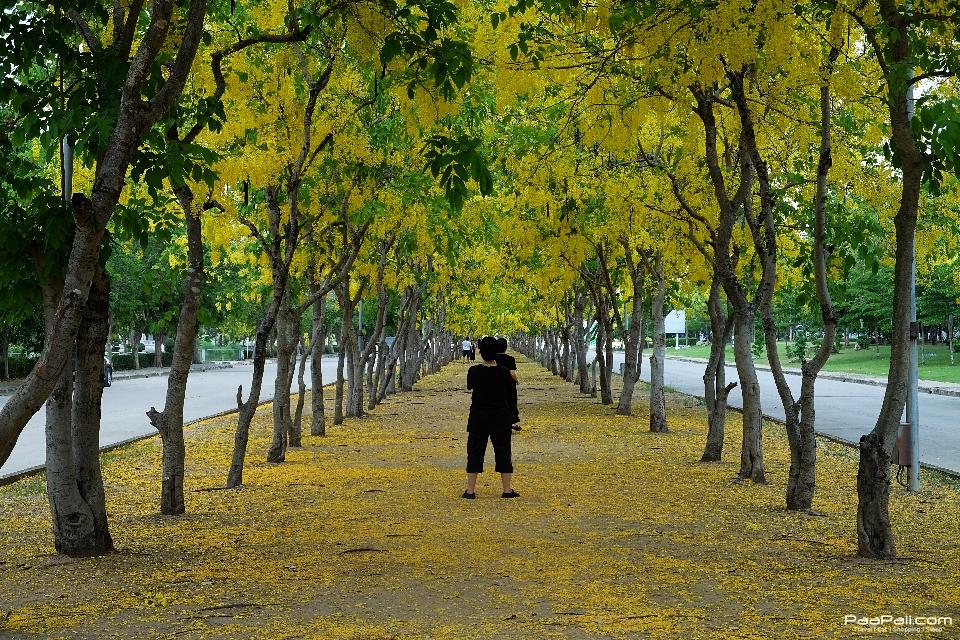 Golden shower tree (2)