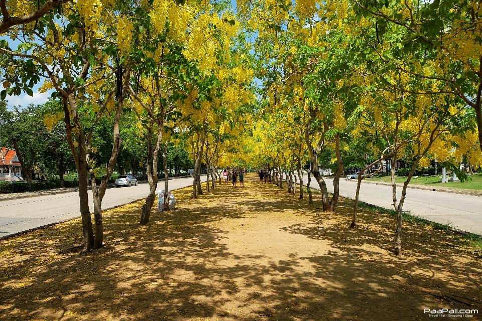 Golden shower tree (21)