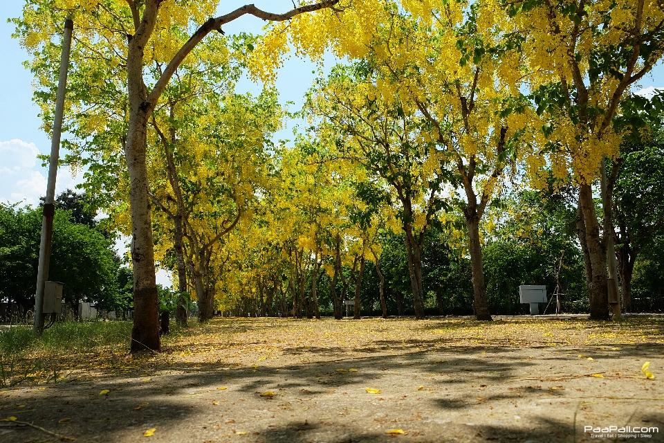 Golden shower tree (24)