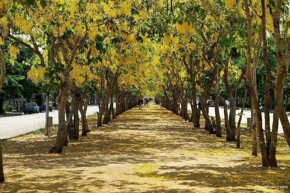 Golden shower tree (26)