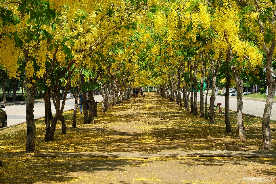 Golden shower tree (27)