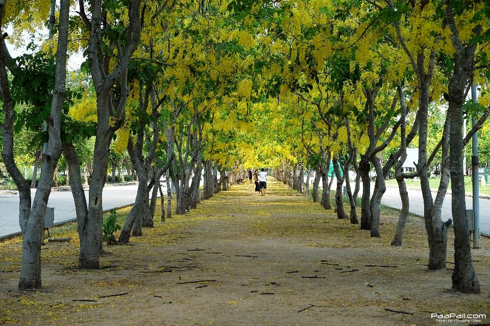 Golden shower tree (3)