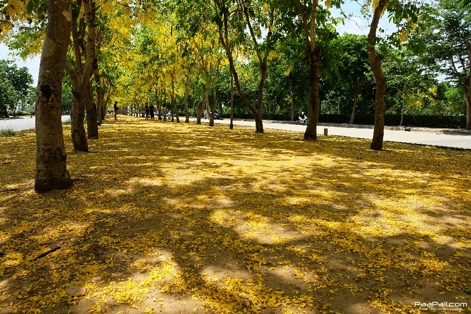 Golden shower tree (30)