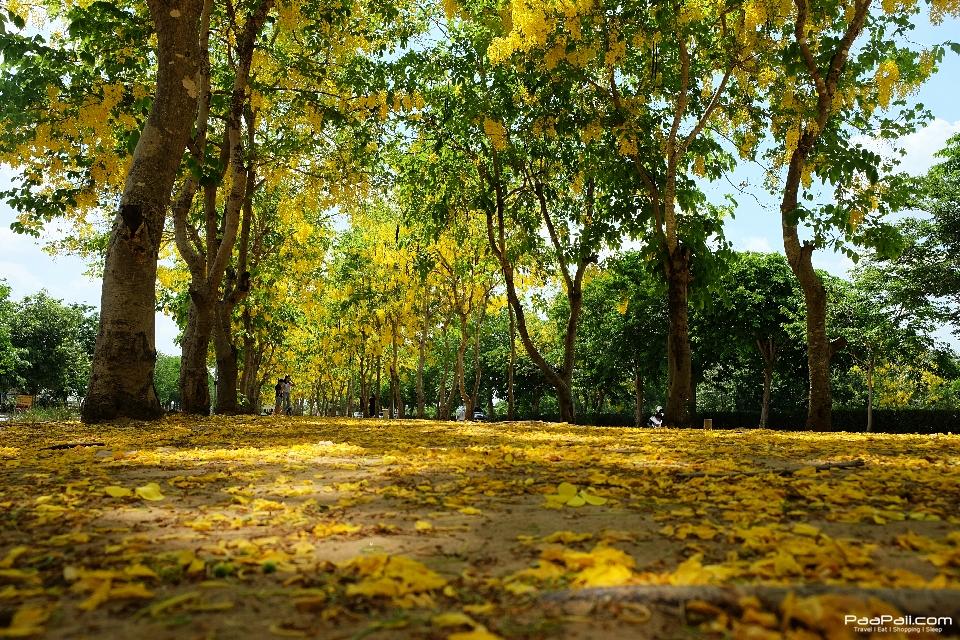 Golden shower tree (31)