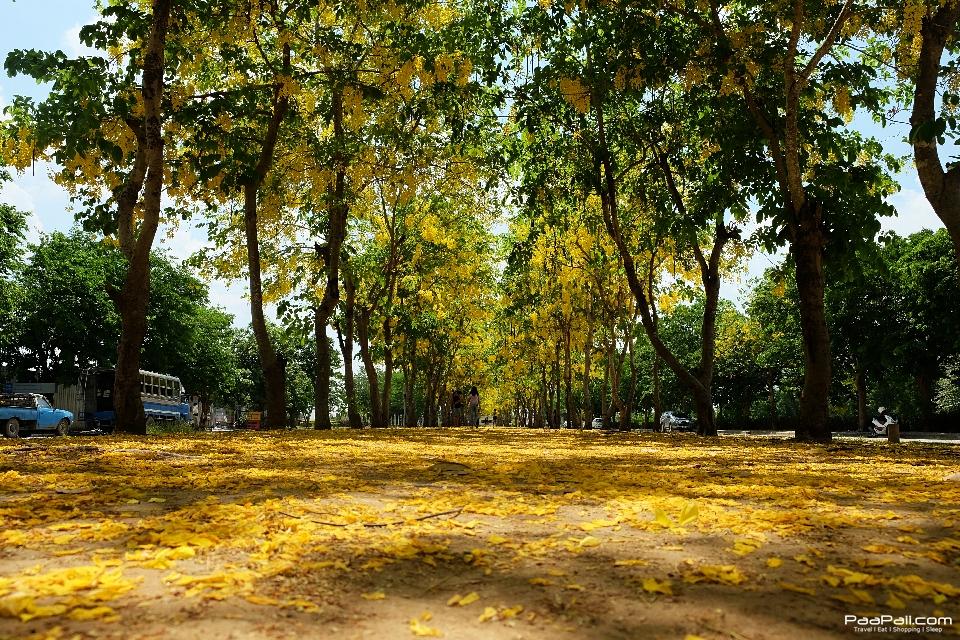 Golden shower tree (32)