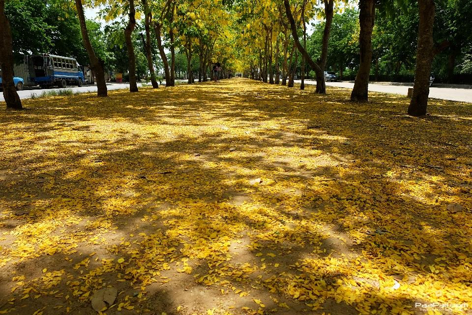 Golden shower tree (33)