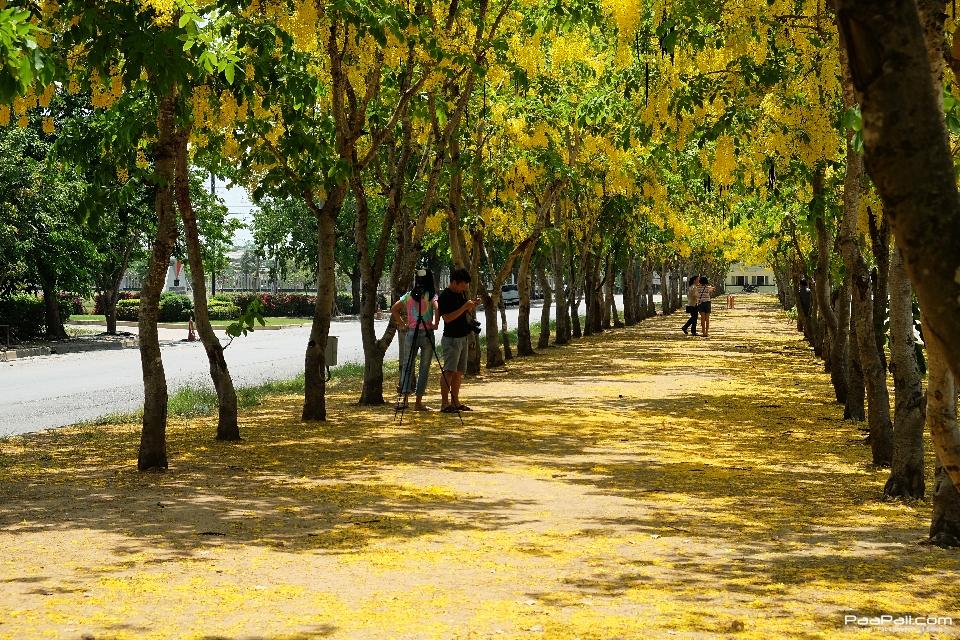 Golden shower tree (35)