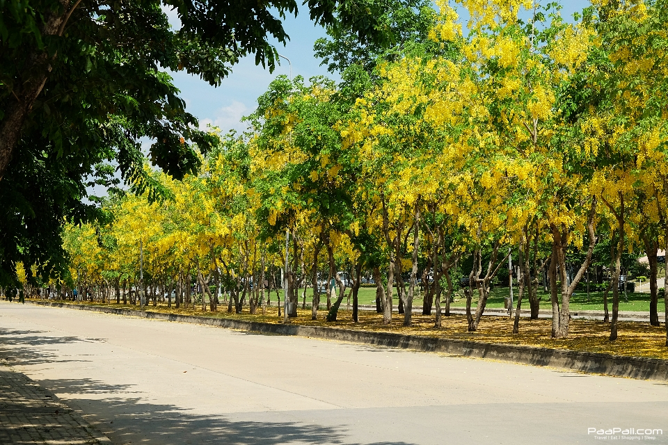 Golden shower tree (39)