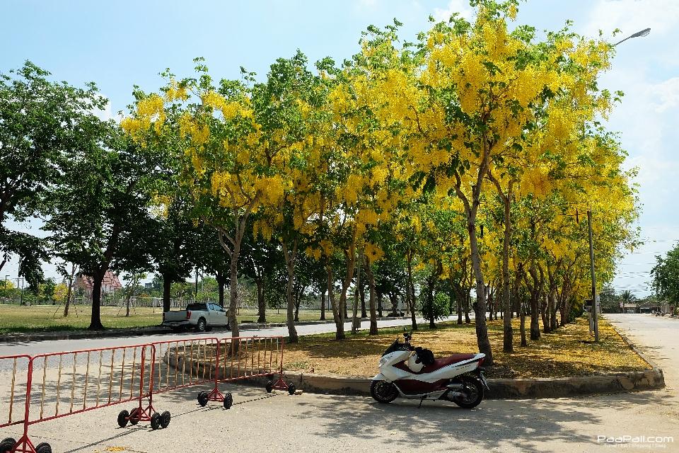Golden shower tree (42)