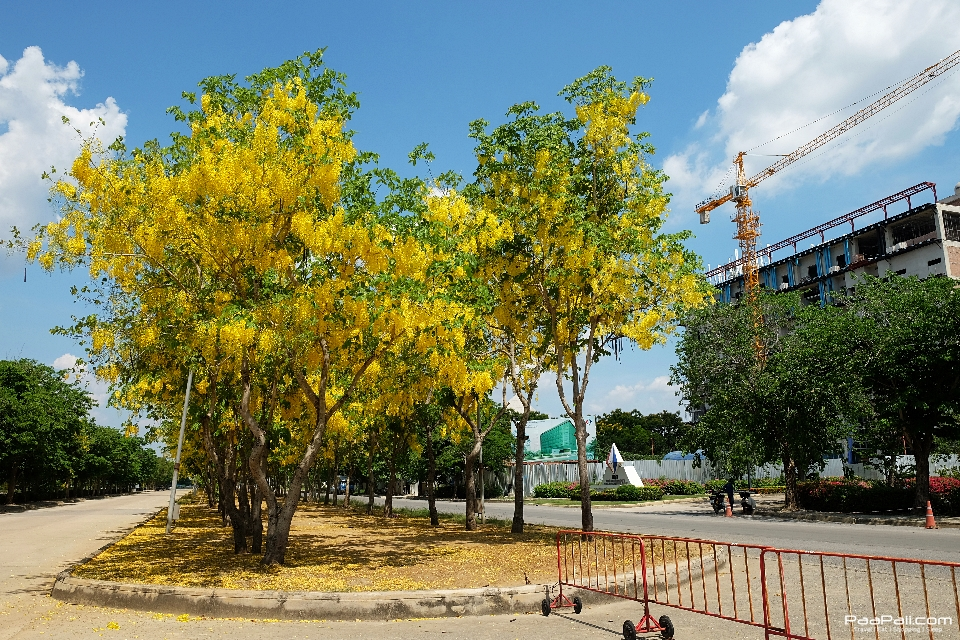 Golden shower tree (43)