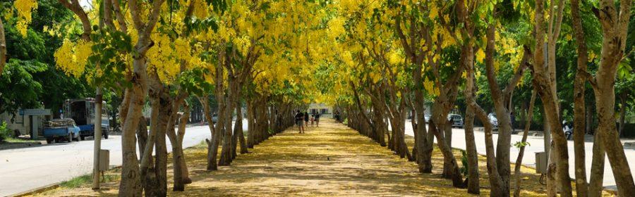 Golden-shower-tree