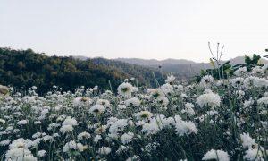 หนาวนี้พาไปชมทุ่งดอกเก๊กฮวย ณ อ.สะเมิง จังหวัดเชียงใหม่