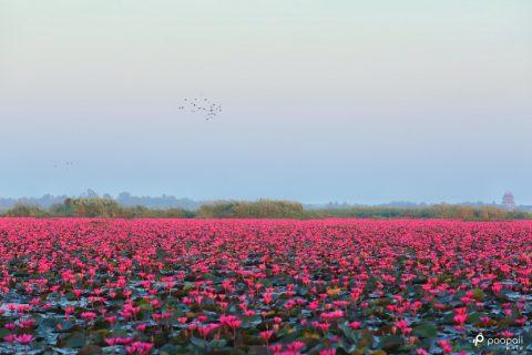 พาไปเที่ยวทะเลบัวแดง กุมภวาปี อุดรธานี (อัปเดทล่าสุดเช้านี้)
