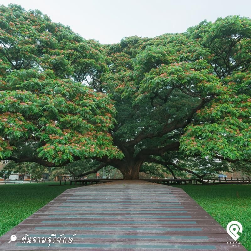 6-Paapaii_5-Aug-2019_800x800_7ที่เที่ยวกาญจนบุรี_ต้นจามจุรียักษ์