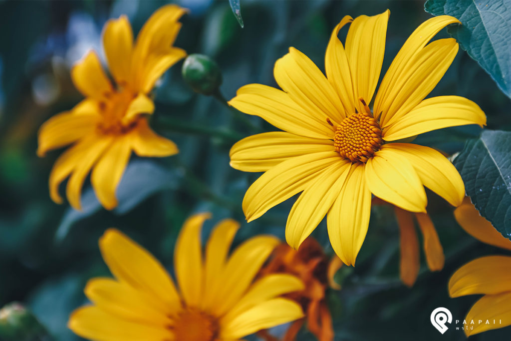 """เที่ยวชมวิว ชิลบรรยากาศ เพลินกับทุ่งดอกไม้ ณ """"ม่อนแจ่ม"""""""